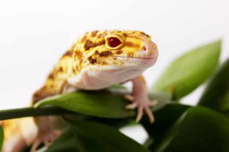 Orange leopard gecko walking and looking forward in green leaves Stock Photo