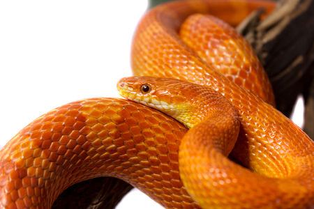 Orange corn snake crawling on a branch and looking forward on white background Stock Photo