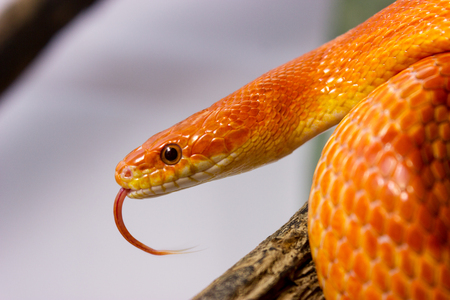 Orange corn snake crawling on a branch and sticking out it`s tongue