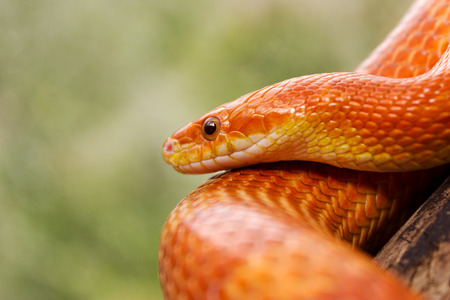 Orange corn snake crawling on a branch and looking forward on green blurred background Stock Photo