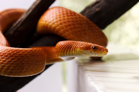 Orange corn snake crawling on a branch and looking forward