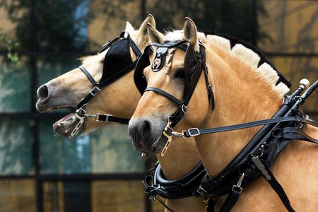 Two norvegian fjord males in blinkers staying outdoor Stock Photo