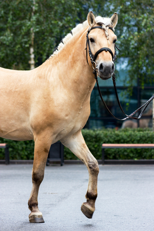 Norvegian fjord male in bridle staying outdoor