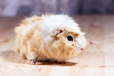 Fluffy cute rodent - guinea pig on neutral background Stock Photo