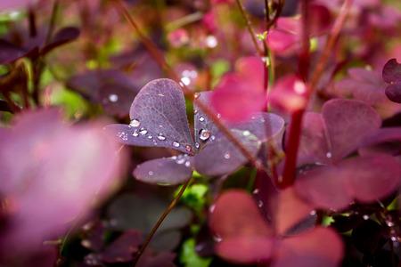Drops of water on leaves of sorrel in summer