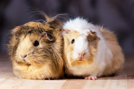 Fluffy cute rodents - guinea pigs on neutral background