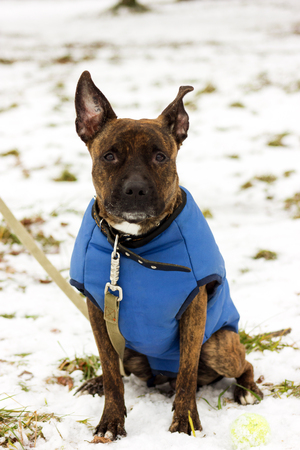 American staffordshire terrier in blue blanket looking at camera at winter park