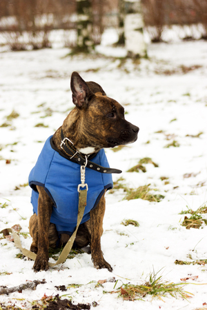 American staffordshire terrier in blue blanket looking forward at winter park