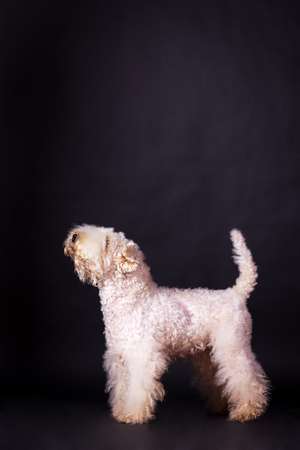 One irish soft coated wheaten terrier looking up on black background at studio