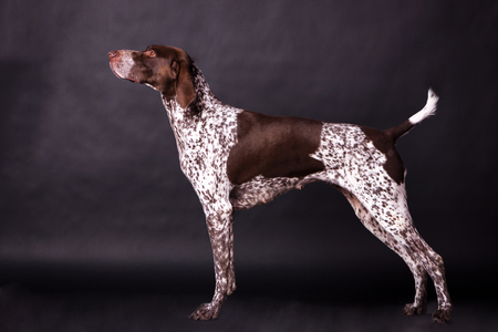 Young german shorthaired pointer (kurzhaar) looking forward on black background at studio Archivio Fotografico