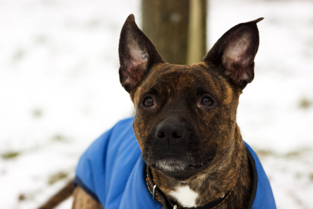 American staffordshire terrier in blue blanket looking up at winter park