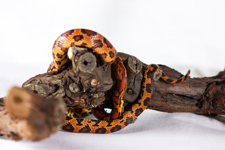Corn snake crawling on a branch and looking forward on white background