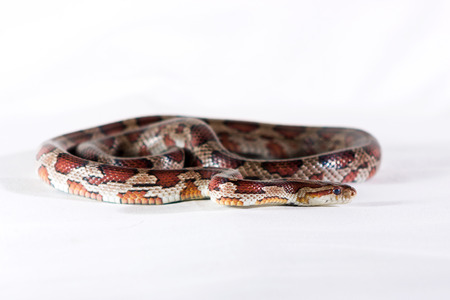Corn snake crawling and looking forward on white background