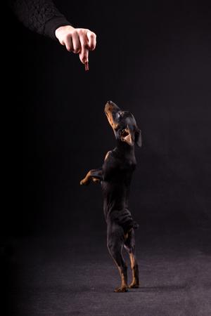 Small black zwergpinscher puppy in studio on black background Stock fotó
