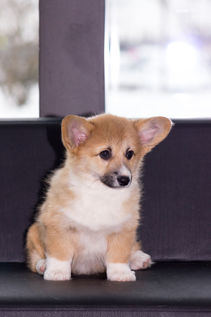 Red welsh corgi cardigan puppy indoor on blurred background Stok Fotoğraf