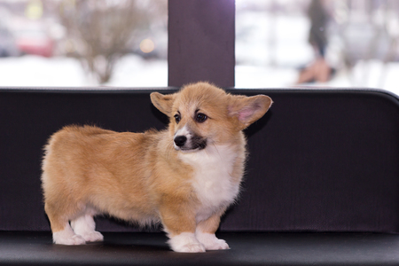 Red welsh corgi cardigan puppy indoor on blurred background Фото со стока