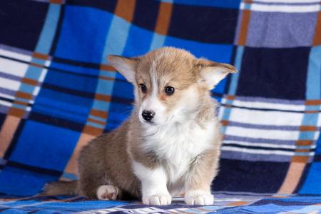Red welsh corgi cardigan puppy indoor on blurred background Stock fotó
