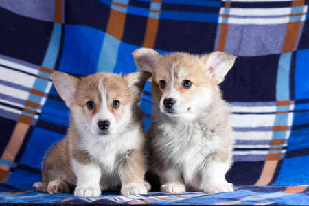 Red welsh corgi cardigan puppy indoor on blurred background