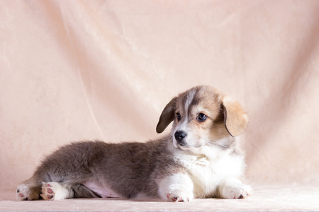 Red welsh corgi cardigan puppy indoor on blurred background Banque d'images
