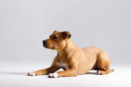 Red pitbullterrier indoor on blurred neutral white background Stock fotó