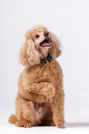 Red poodle with bow tie indoor on white background