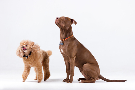 Chocolate pitbullterrier with red poodle indoor on white background Фото со стока