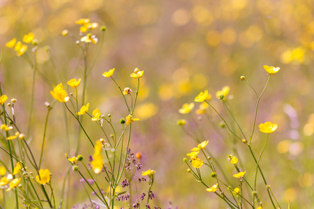 Yellow buttercups bloom on field at sunny day