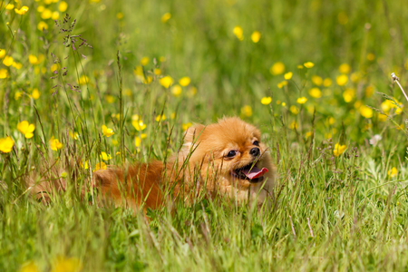 Red pomeranian spitz down and smile in flowers Stock fotó