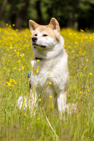Red japanese akita sit and smile in flowers