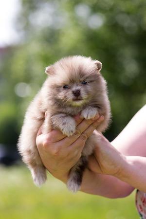 Chocolate merle pomeranian puppy sit in hands outdoor