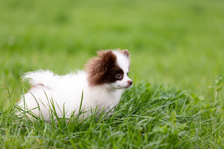 White and chocolate pomeranian puppy walks outdoor at park