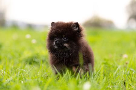 Black and tan pomeranian puppy walks outdoor at park Фото со стока