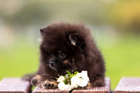 Black and tan pomeranian puppy walks outdoor at park Stock Photo