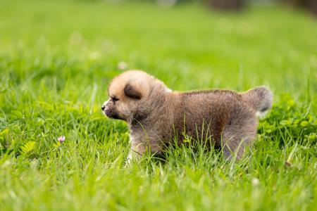 Red japanese akita, akita inu, puppy walks outdoor at park