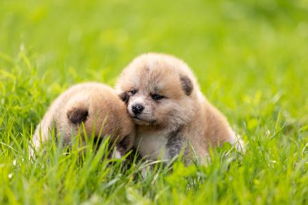 Red japanese akita, akita inu, puppies walks outdoor at park Фото со стока