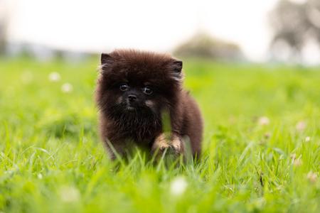 Black and tan pomeranian puppy walks outdoor at park Stock fotó