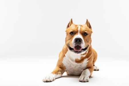 Red and white american staffordshire terrier with cropped ears downs indoor at white background Reklamní fotografie