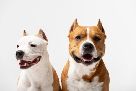 Red and white american staffordshire terriers with cropped ears sits indoor at white background