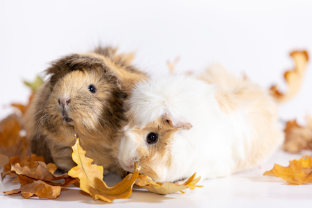 Adorable guinea pigs females isolated on white background