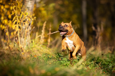 Red american staffordshire terrier with cropped ears walks outdoor in autumn park