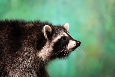 Adorable tamed raccoon plays indoor at green textured background Stockfoto