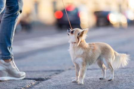 Cream long haired chihuahua walks on embankment in big city