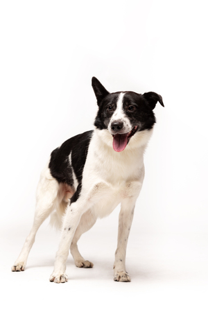 Adorable mixed-breed dog stands indoor at white background Banco de Imagens
