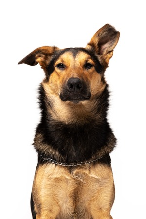 Adorable mixed-breed dog sits indoor at white background