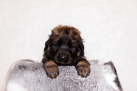Cute little puppy of leonberger, 2 months, sits indoor at beige background