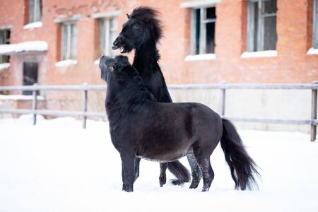 Black pony plays in manege at winter day