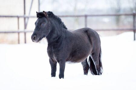 Black pony walks in manege at winter day