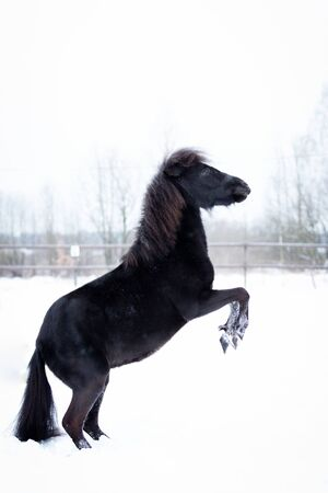 Black pony walks in manege at winter day