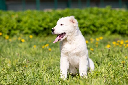 Puppy of central asia shepard dog walks outdoor at summer day