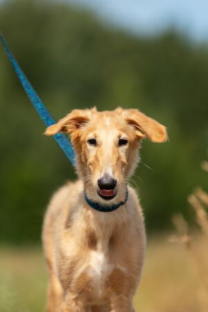 Red puppy of borzoi walks outdoor at summer day, russian sighthound, 4 months